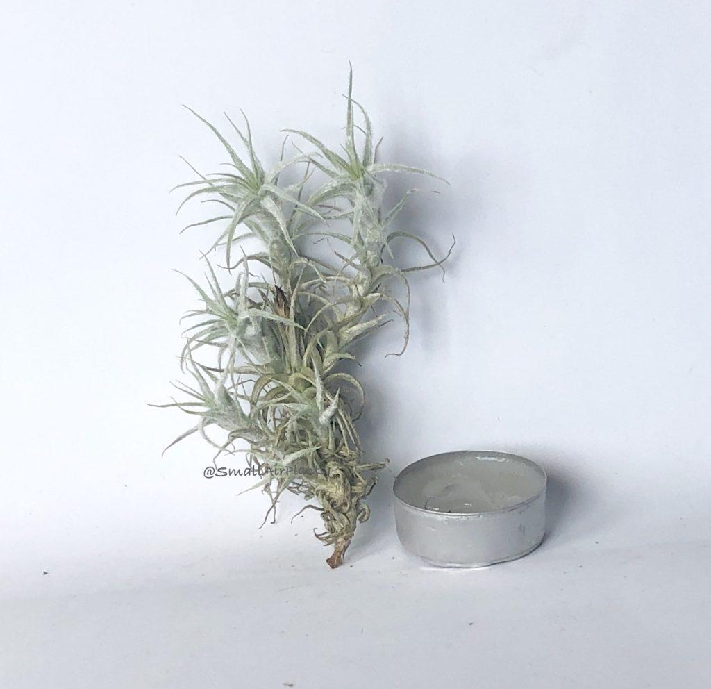 Купить «Stellifera pulk» в интернет-магазине Smallairplants