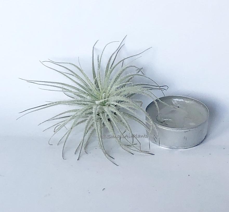 Купить «Tectorum Snow S» в интернет-магазине Smallairplants