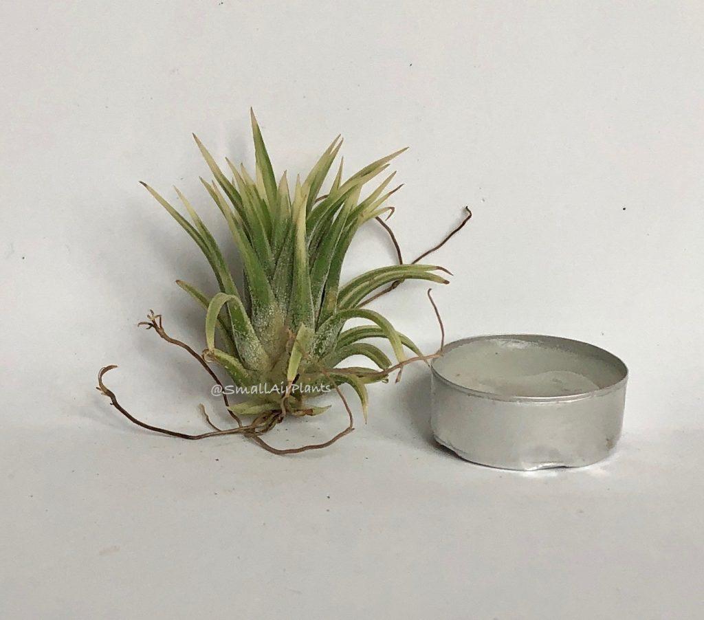 Купить «Ionantha Albo-Marginata» в интернет-магазине Smallairplants