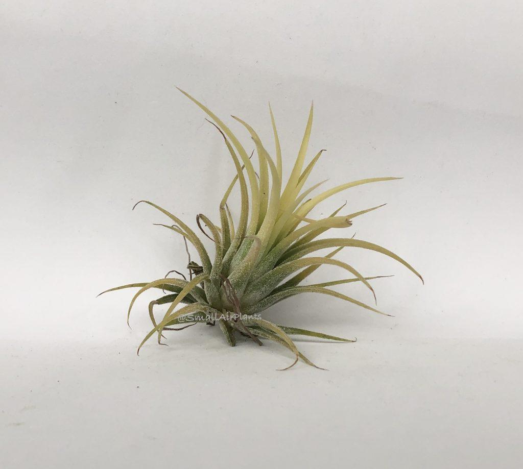 Купить «Ionantha Druid» в интернет-магазине Smallairplants