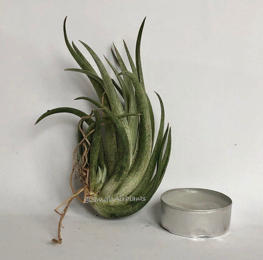 Купить «Pueblensis Pulk L» в интернет-магазине Smallairplants