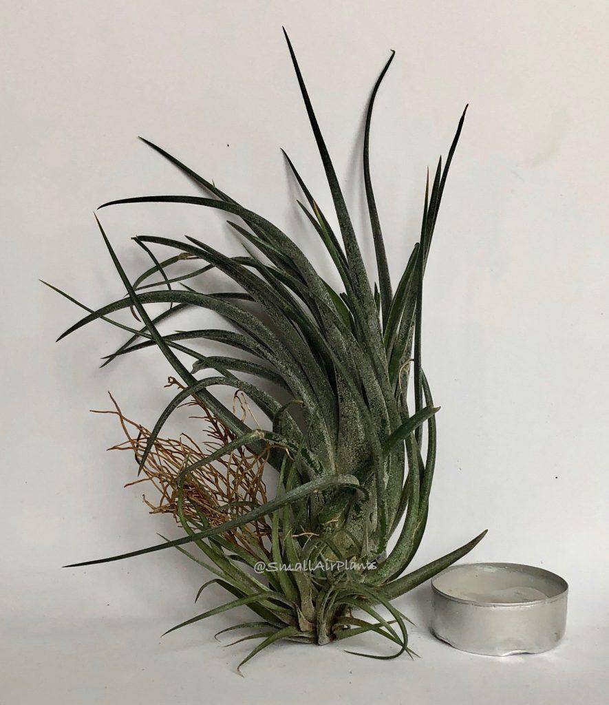 Купить «Victoria (Ionantha & Brachycaulos)» в интернет-магазине Smallairplants