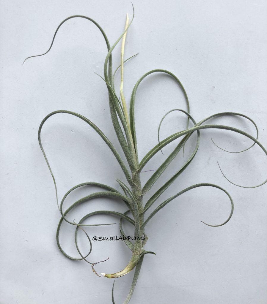 Купить «Wonga (Mallemontii & Duratii)» в интернет-магазине Smallairplants