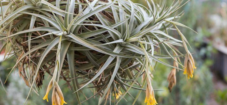 Тилландсии с ароматными цветками