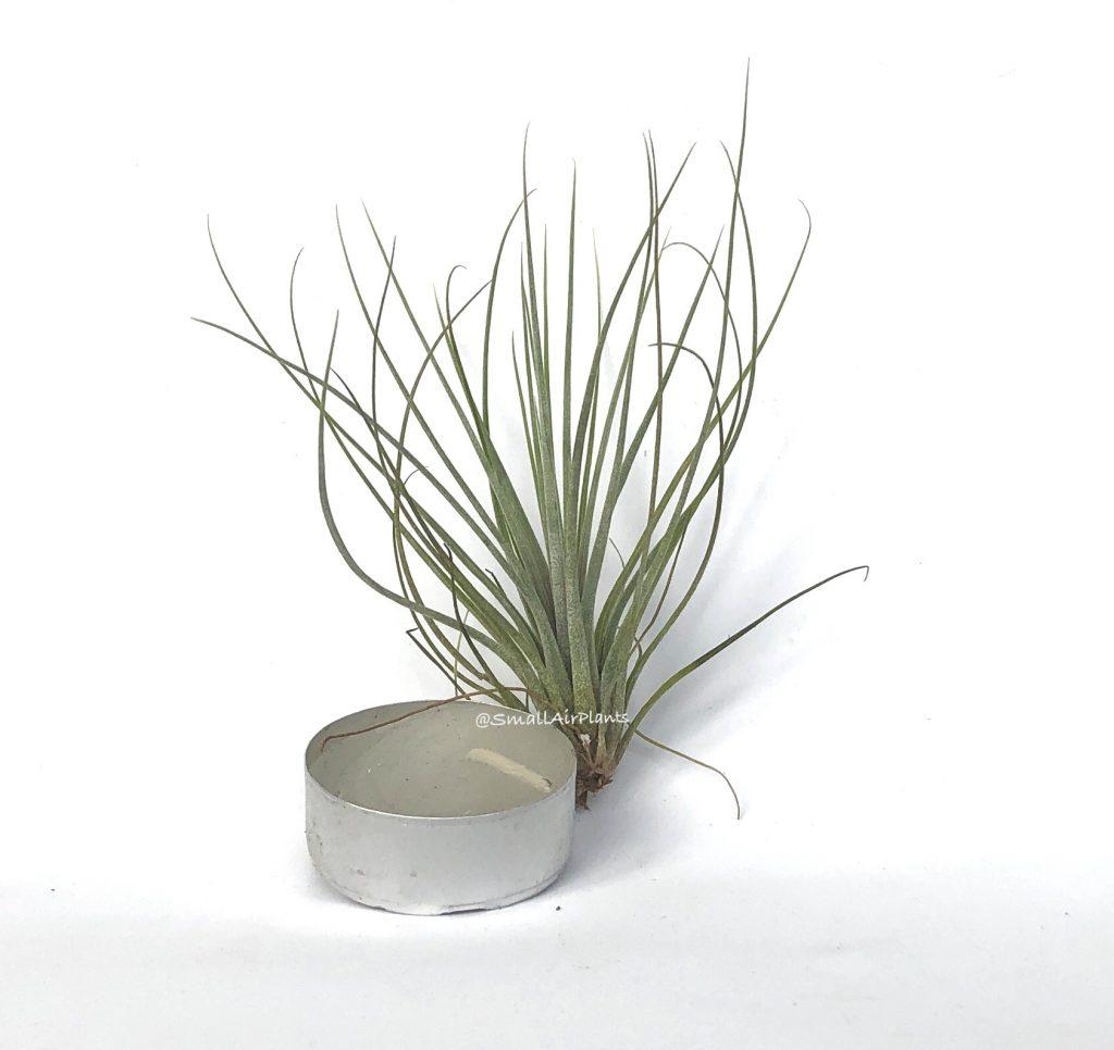 Купить «Juncea Mini» в интернет-магазине Smallairplants