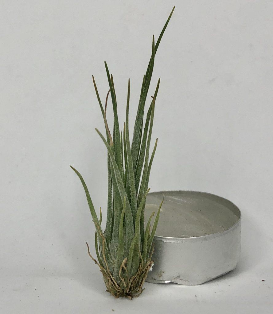 Купить «Disticha Mini» в интернет-магазине Smallairplants