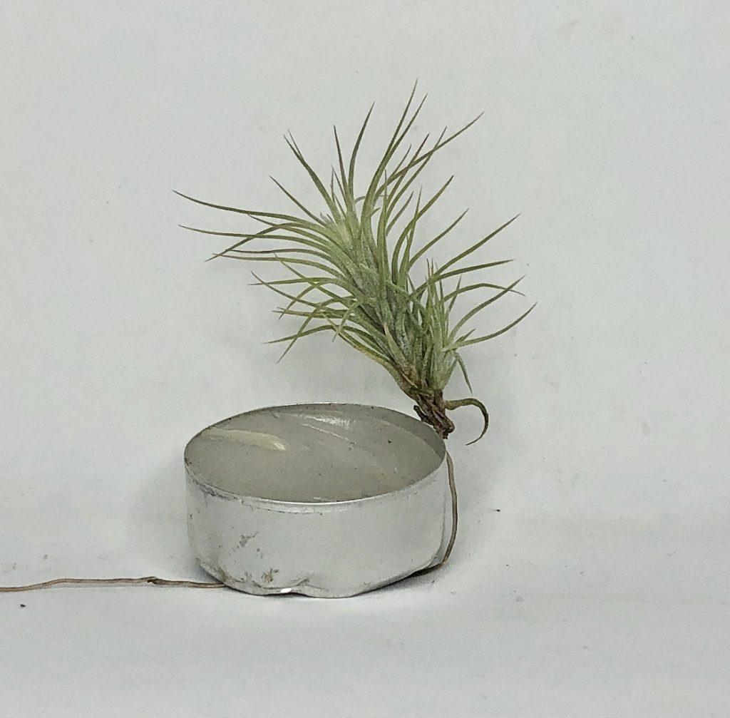 Купить «Funckiana S» в интернет-магазине Smallairplants