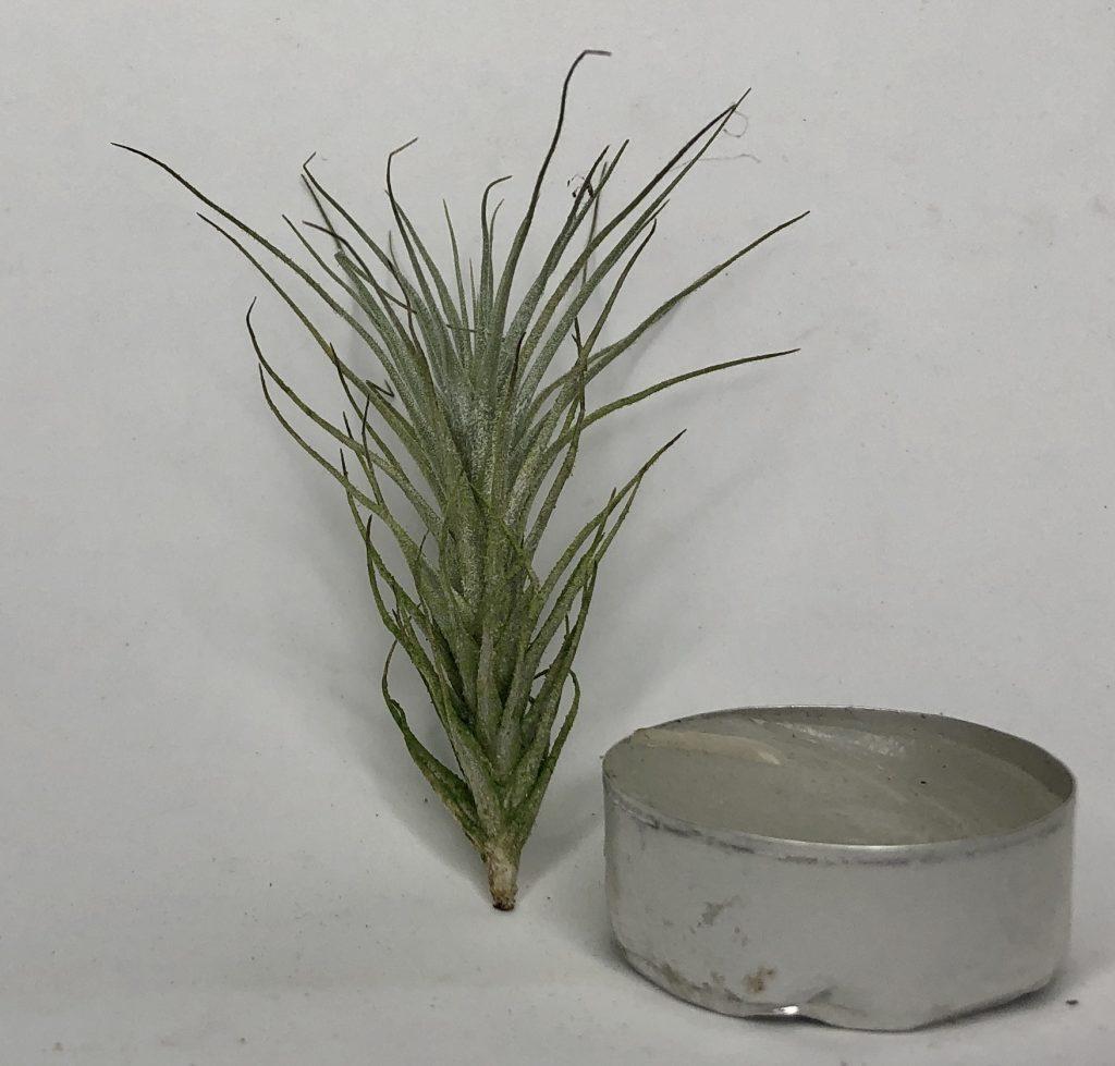 Купить «Heteromorpha Mini» в интернет-магазине Smallairplants