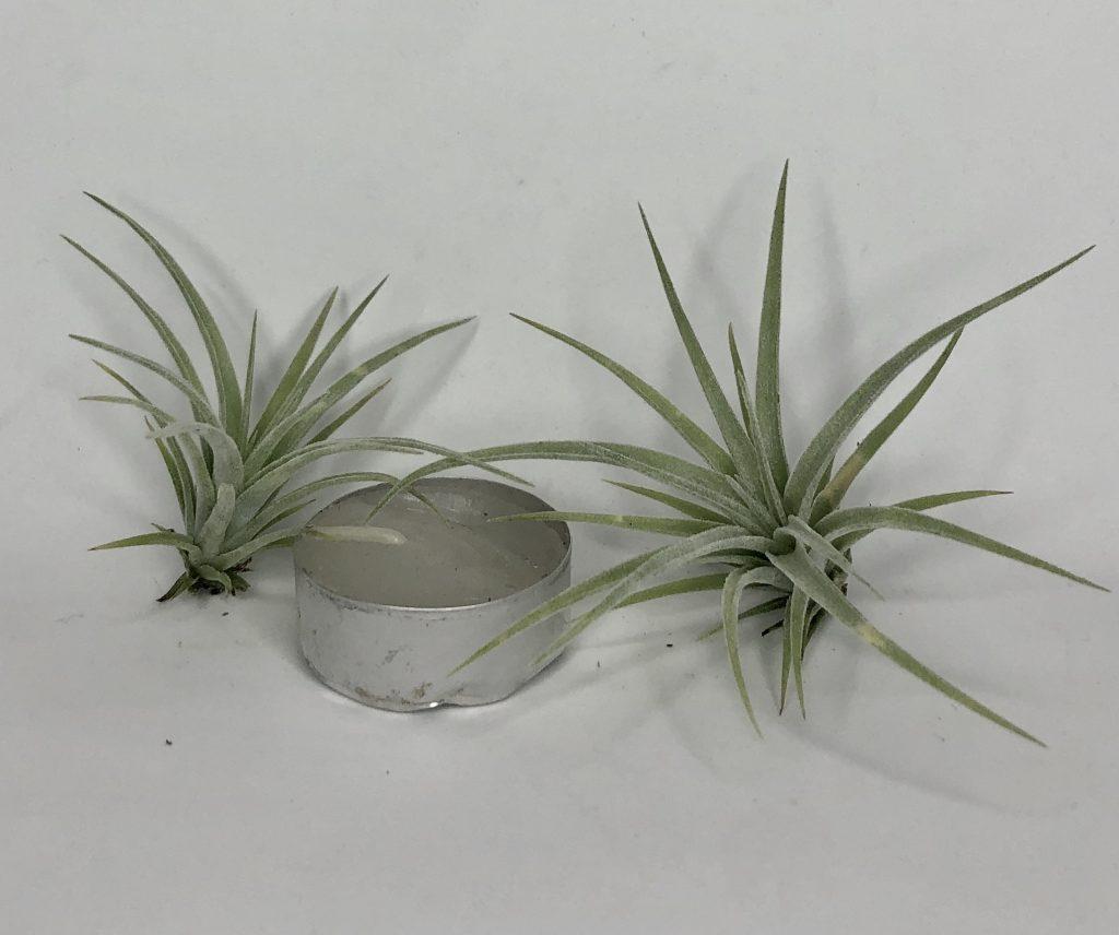 Купить «Pohliana Mini» в интернет-магазине Smallairplants