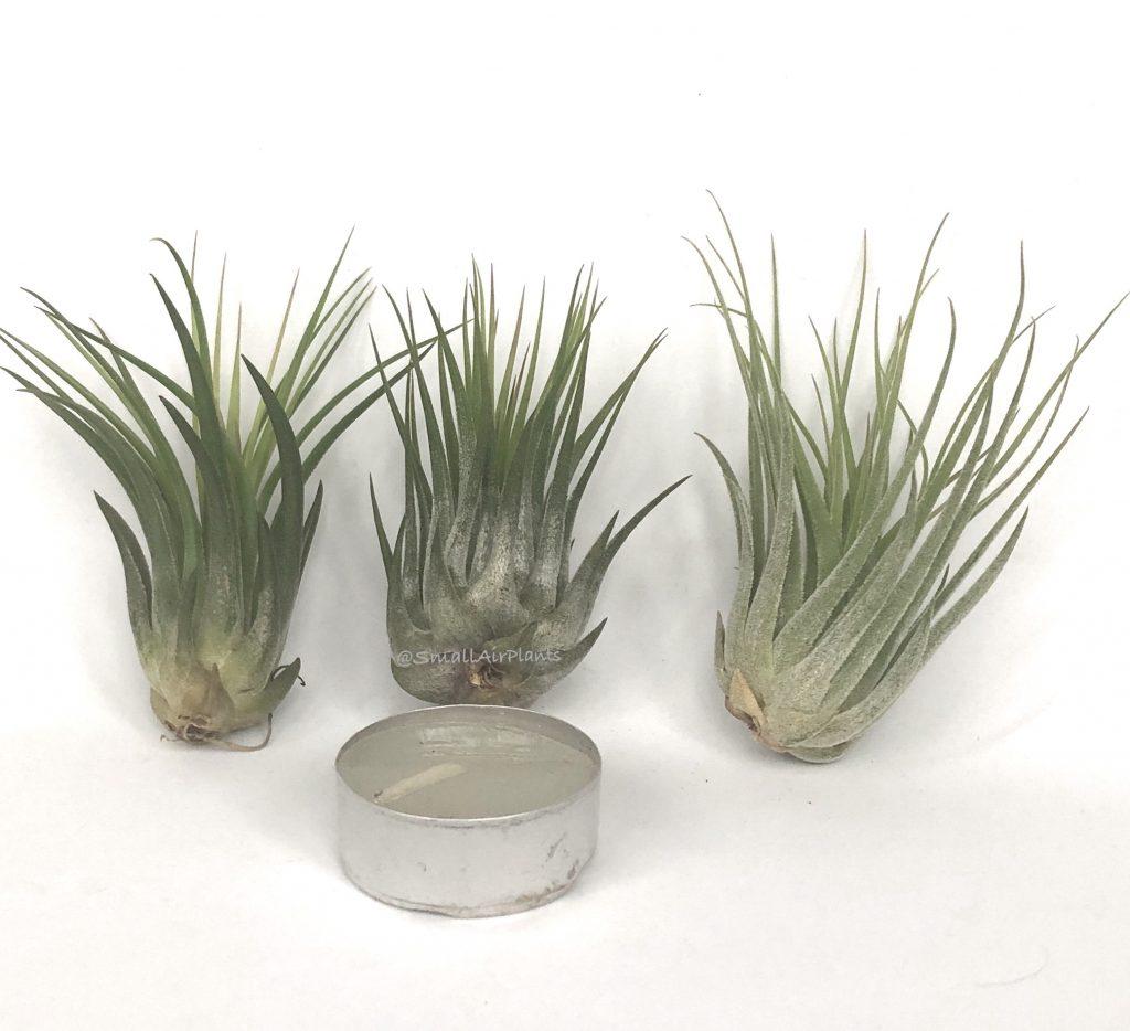 Купить «Scaposa (Kolbii) S» в интернет-магазине Smallairplants