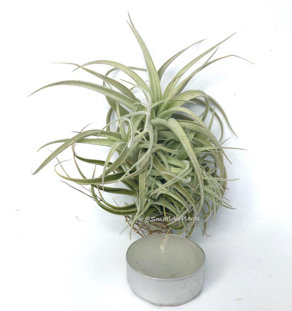 Купить «Bergeri & Recurvifolia clump» в интернет-магазине Smallairplants