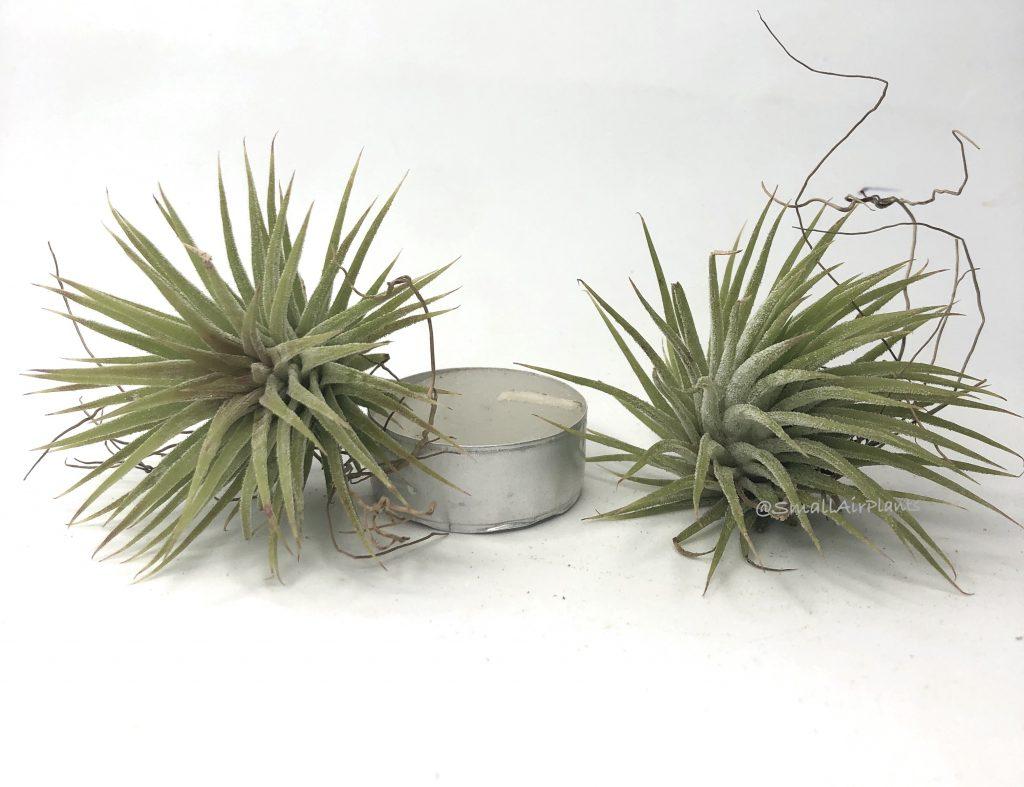 Купить «Ionantha Huamelula» в интернет-магазине Smallairplants