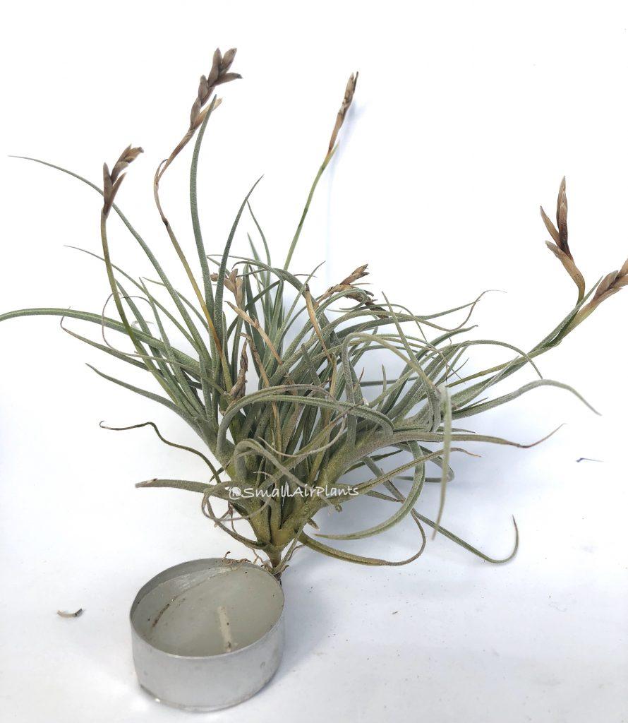 Купить «Streptocarpa & Recurvata» в интернет-магазине Smallairplants