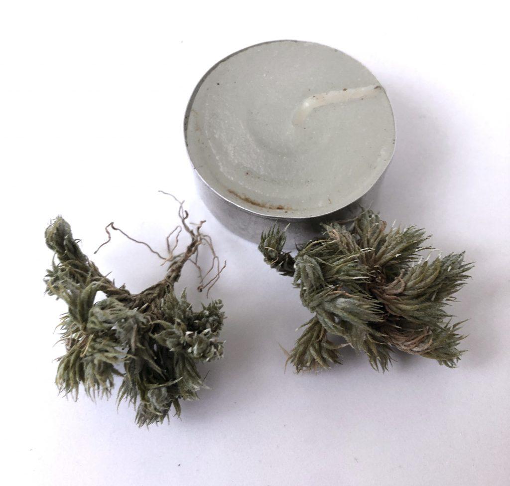 Купить «Triholepis pulk – форма2» в интернет-магазине Smallairplants