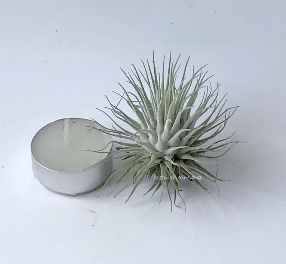 Купить «Fuchsii v. fuchsii L» в интернет-магазине Smallairplants