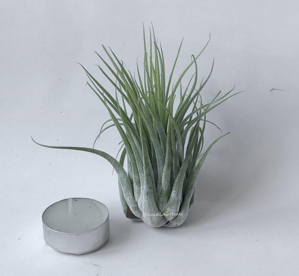 Купить «Scaposa (Kolbii) XL» в интернет-магазине Smallairplants