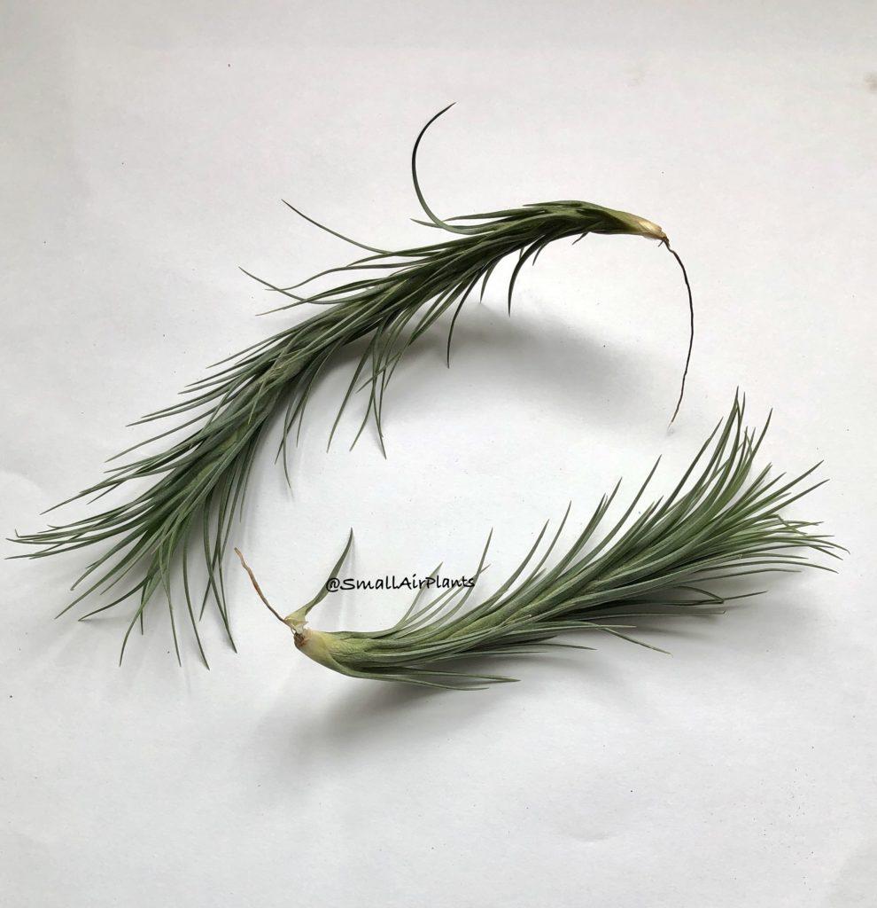 Купить «Araujei Closed form SALE» в интернет-магазине Smallairplants