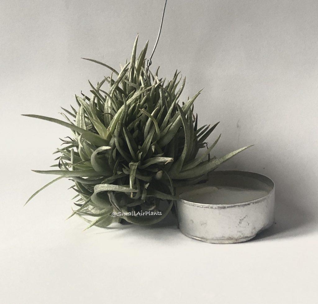 Купить «Capitata Mauve clump» в интернет-магазине Smallairplants