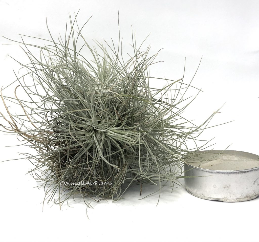 Купить «Fuchsii v. gracilis pulk» в интернет-магазине Smallairplants
