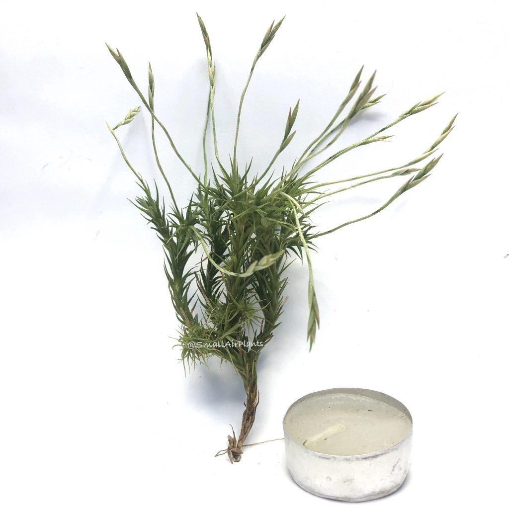 Купить «Tricholepis pulk XL» в интернет-магазине Smallairplants
