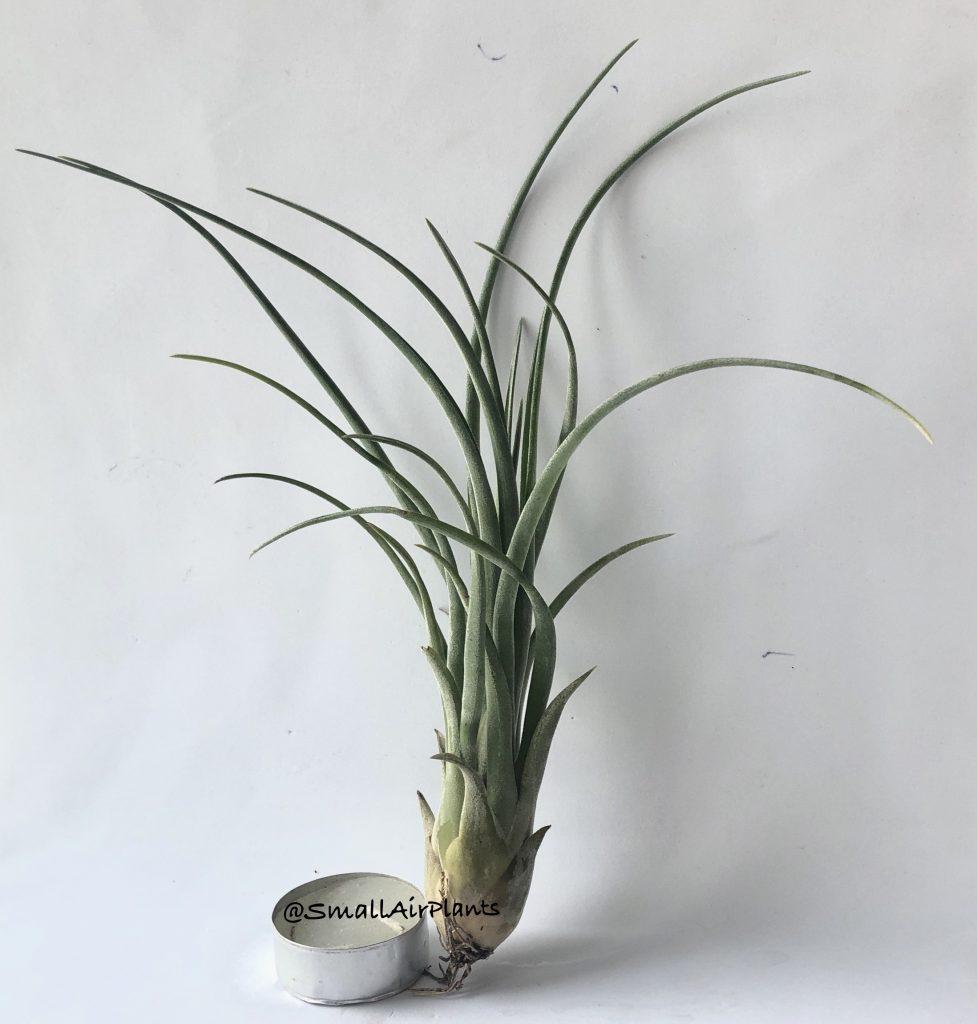Купить «Brachycaulos & Caput Medusae» в интернет-магазине Smallairplants
