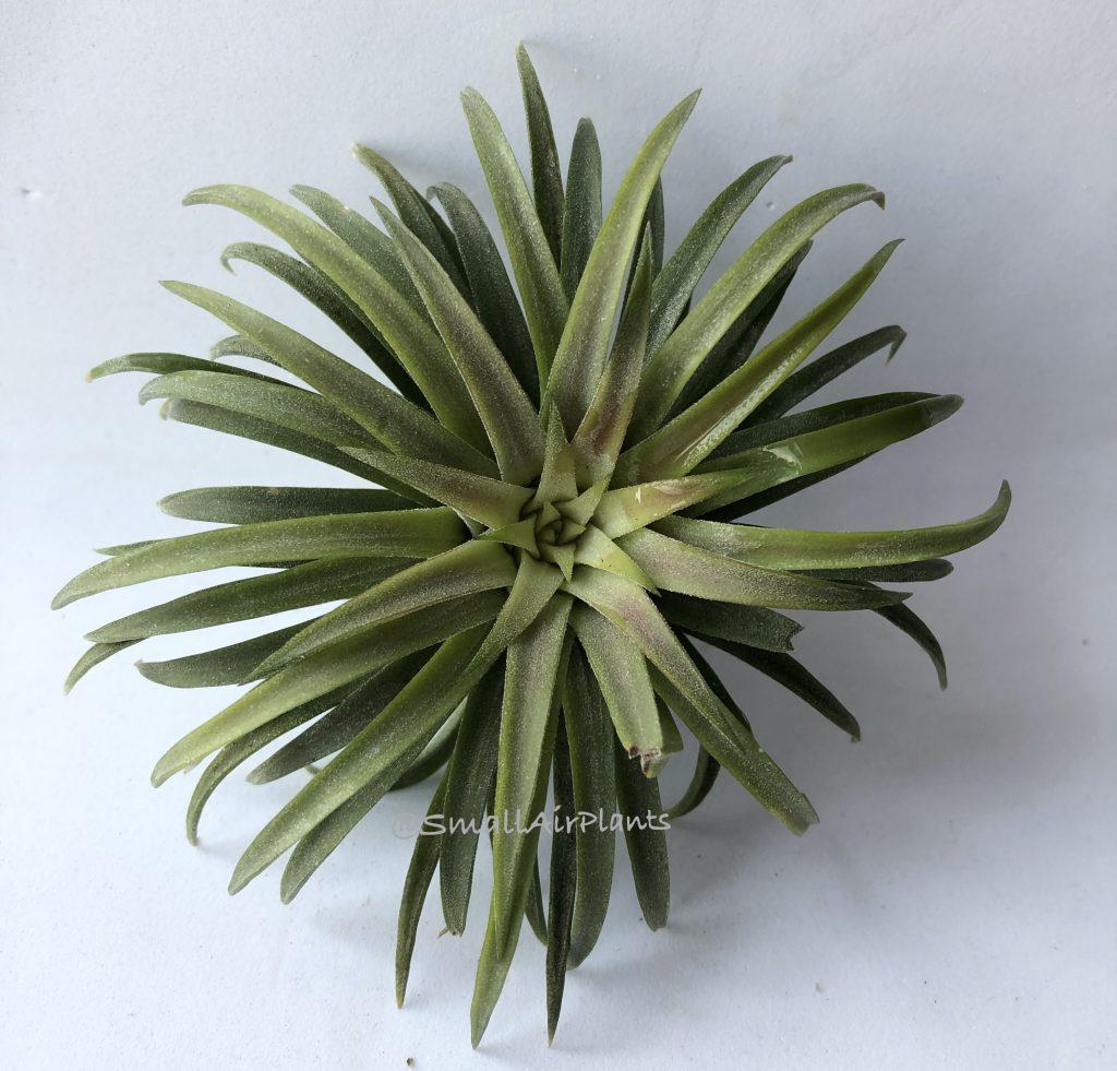 Купить «Ionantha Ron L» в интернет-магазине Smallairplants