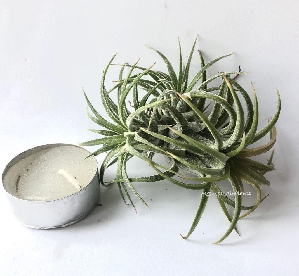 Купить «Ionantha Ron pulk» в интернет-магазине Smallairplants