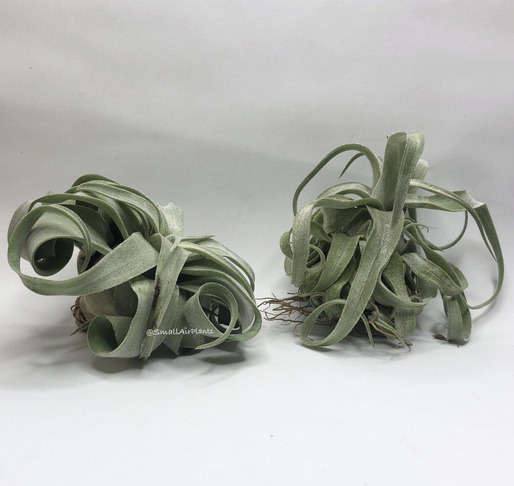 Купить «Streptophylla M» в интернет-магазине Smallairplants