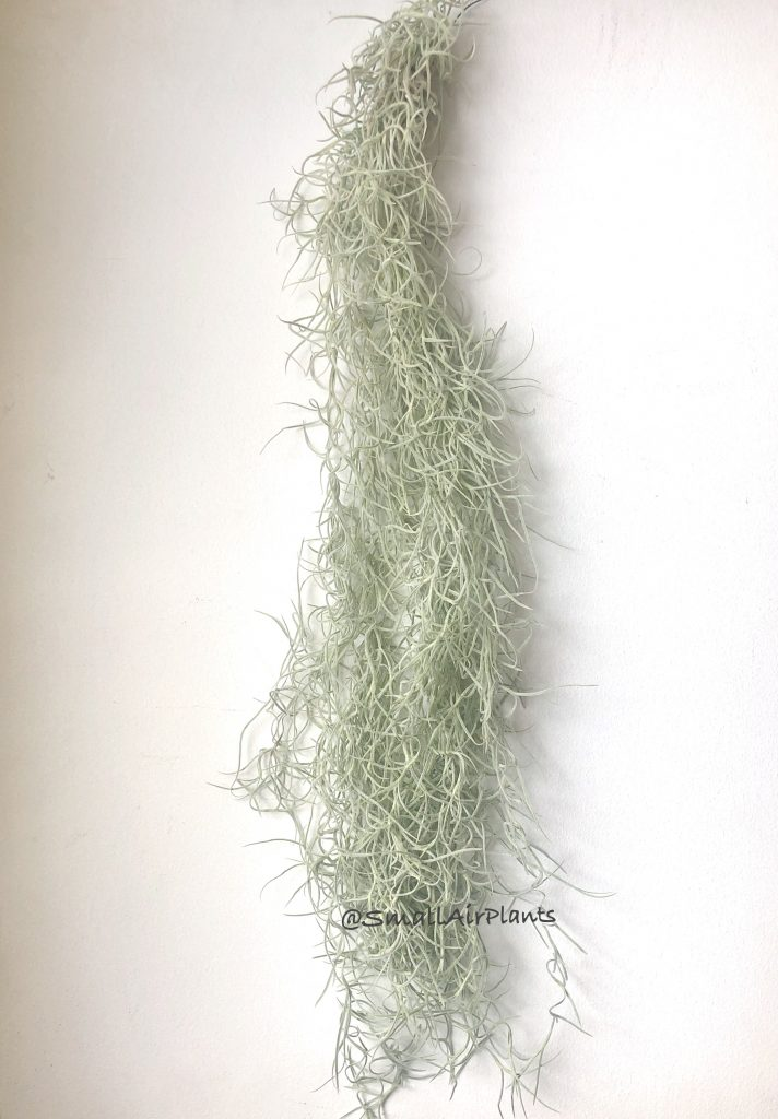 Купить «Usneoides Silver 60» в интернет-магазине Smallairplants