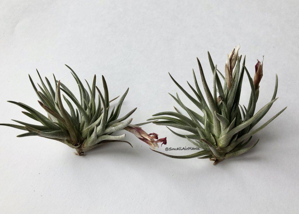 Купить «Albertiana & Argentina» в интернет-магазине Smallairplants