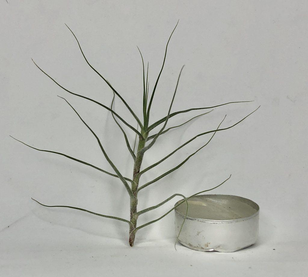 Купить «Caeruela S» в интернет-магазине Smallairplants