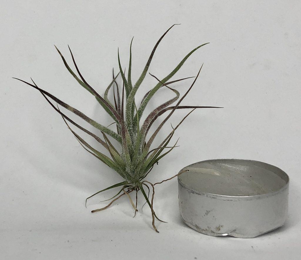 Купить «Pruinosa mini» в интернет-магазине Smallairplants