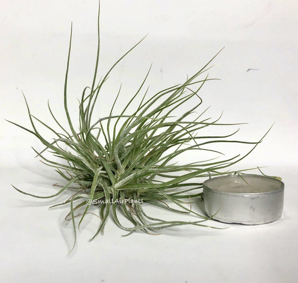Купить «Schiedeana pulk S» в интернет-магазине Smallairplants