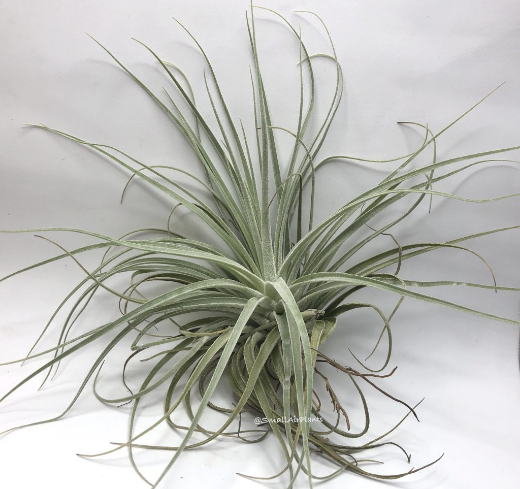 Купить «Velickiana XL» в интернет-магазине Smallairplants
