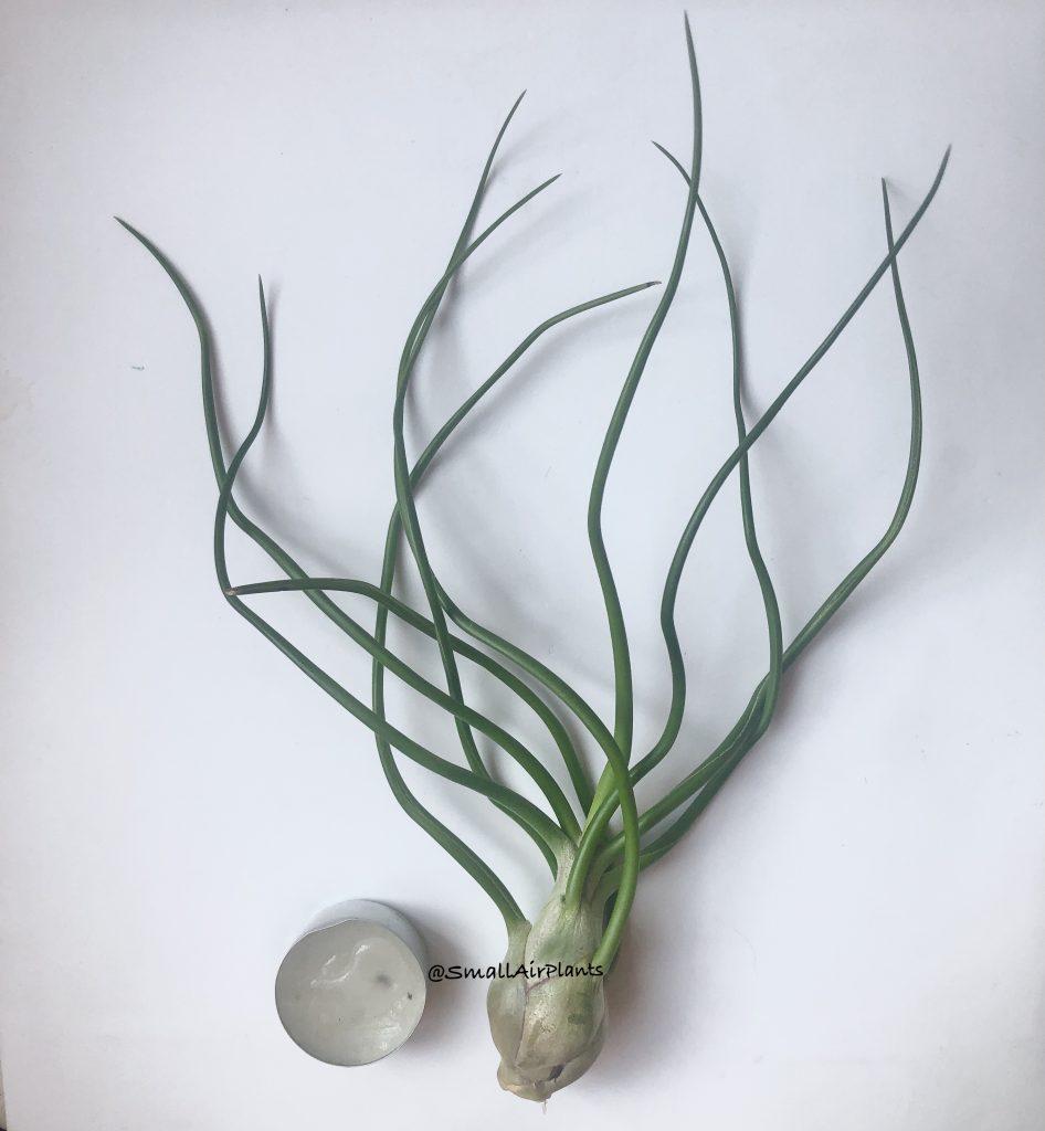 Купить «Bulbosa XXL» в интернет-магазине Smallairplants