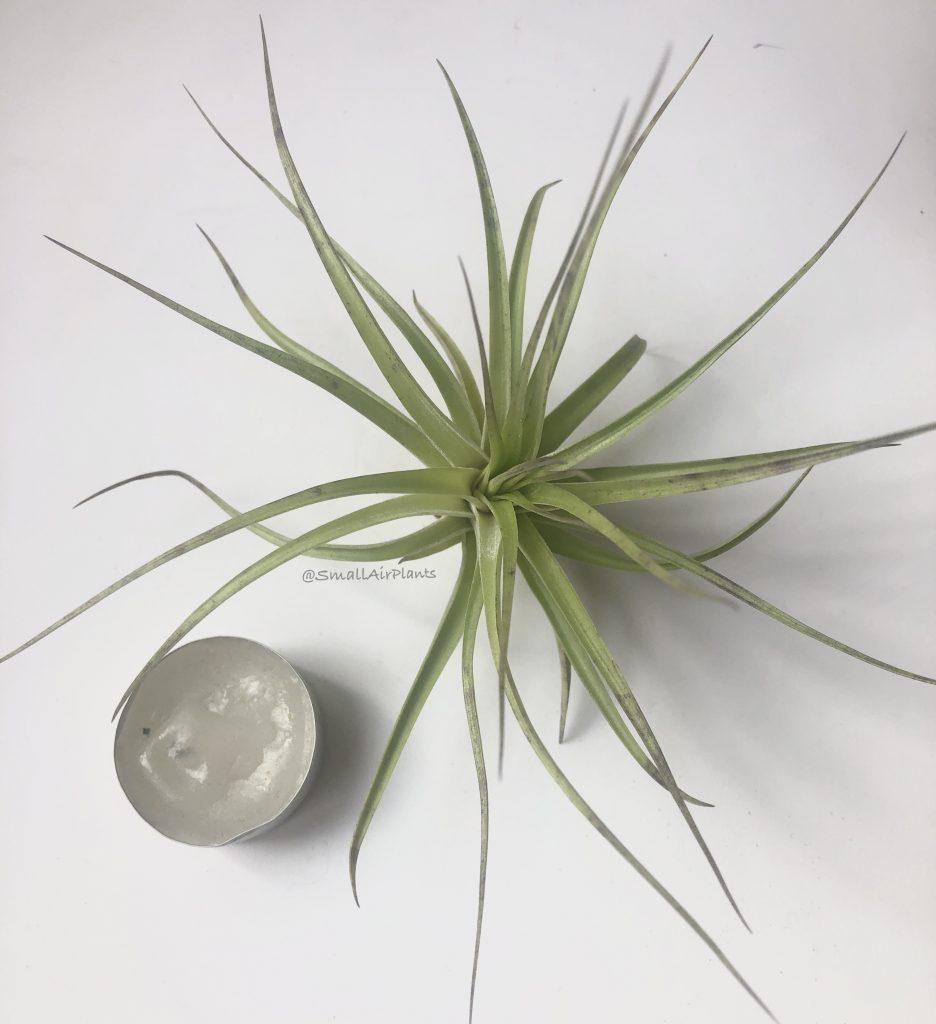 Купить «Stricta Hard leaf M» в интернет-магазине Smallairplants