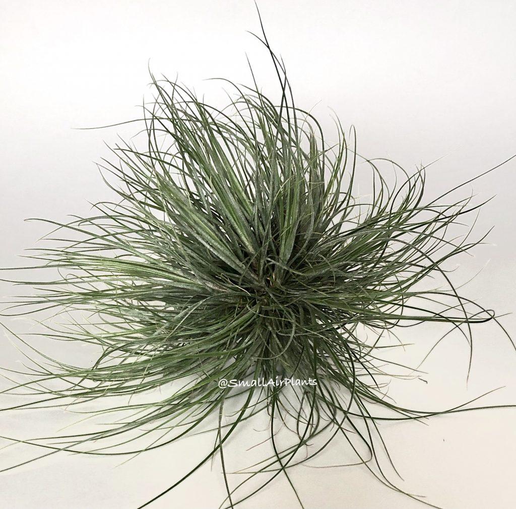 Купить «Bartamii Wireball L» в интернет-магазине Smallairplants