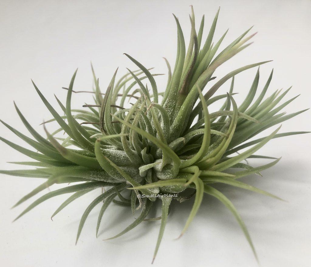 Купить «Ionantha Fuego Pulk» в интернет-магазине Smallairplants