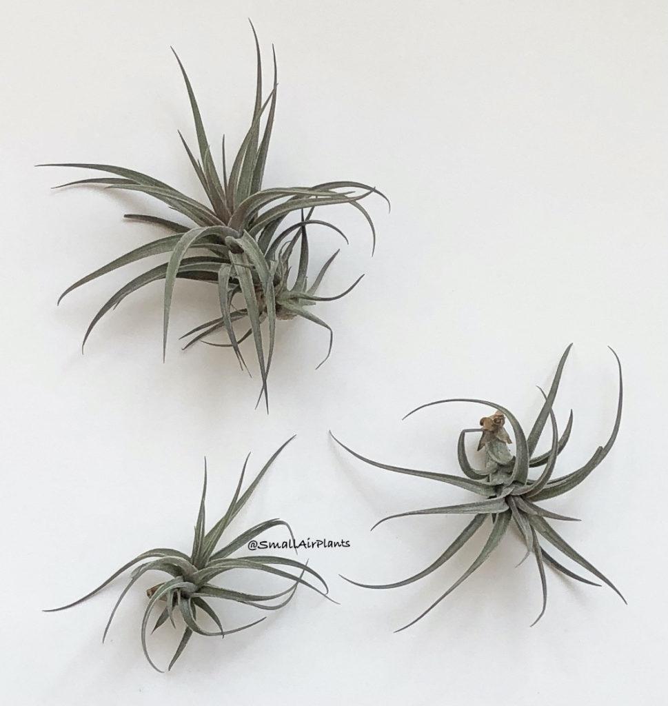 Купить «Aeranthos Mini Purle» в интернет-магазине Smallairplants