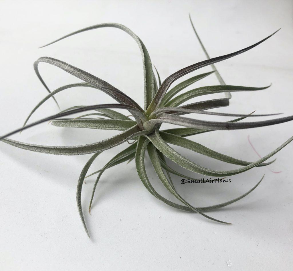 Купить «Aeranthos Wavy Slim» в интернет-магазине Smallairplants