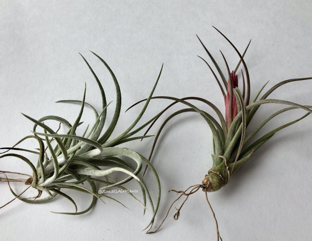 Купить «Califano (Ionantha & Baileyi)» в интернет-магазине Smallairplants
