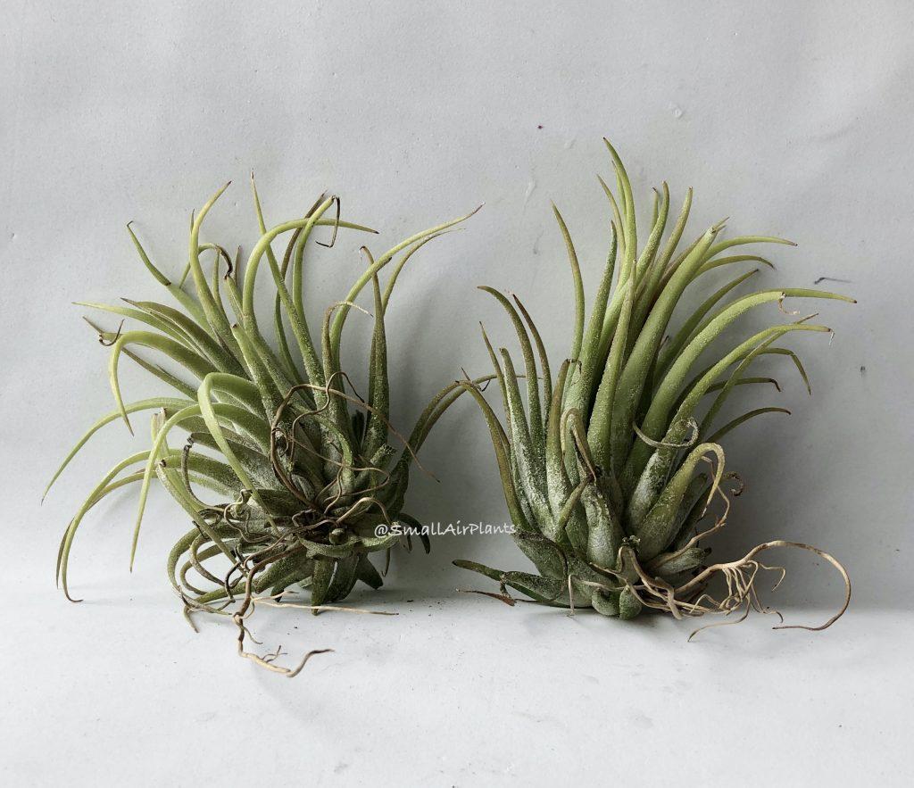 Купить «Ionantha Curly giant» в интернет-магазине Smallairplants