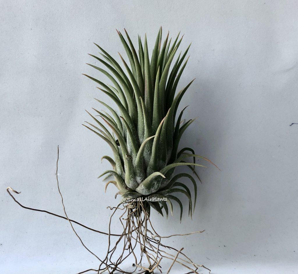 Купить «Ionantha Hazelnut Giant» в интернет-магазине Smallairplants