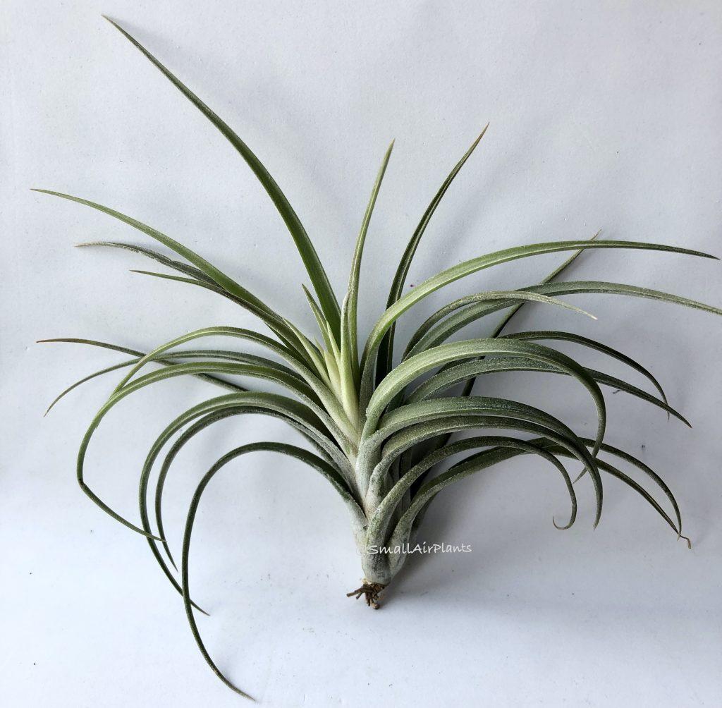 Купить «Ionantha & Paucifolia» в интернет-магазине Smallairplants
