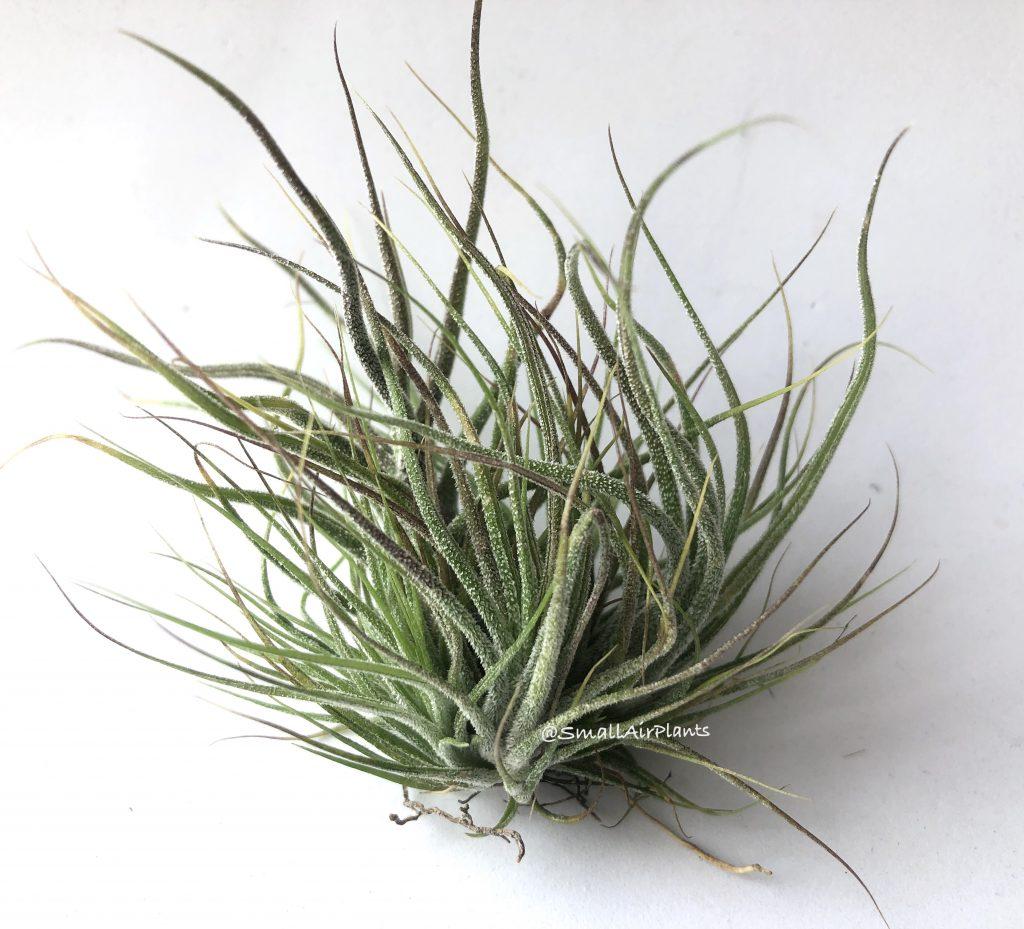 Купить «Pruinosa Pulk» в интернет-магазине Smallairplants