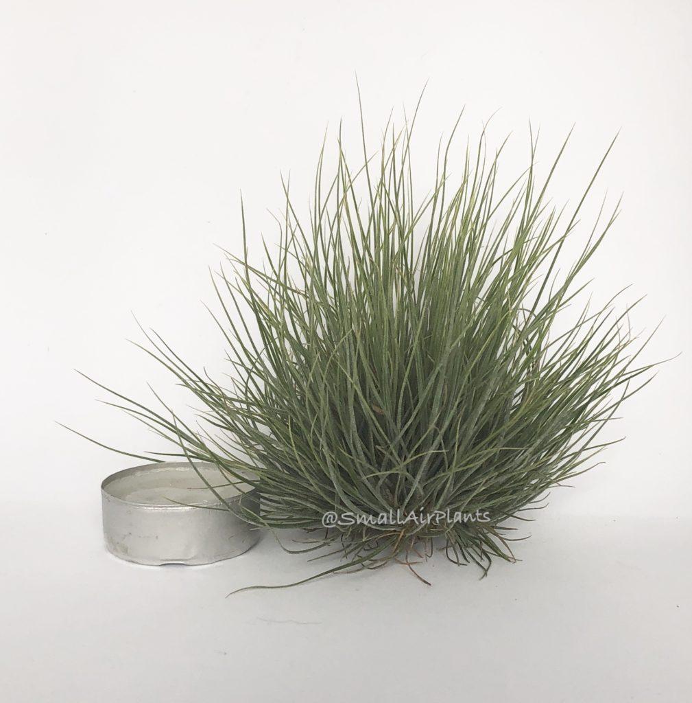 Купить «Bartamii pulk M» в интернет-магазине Smallairplants
