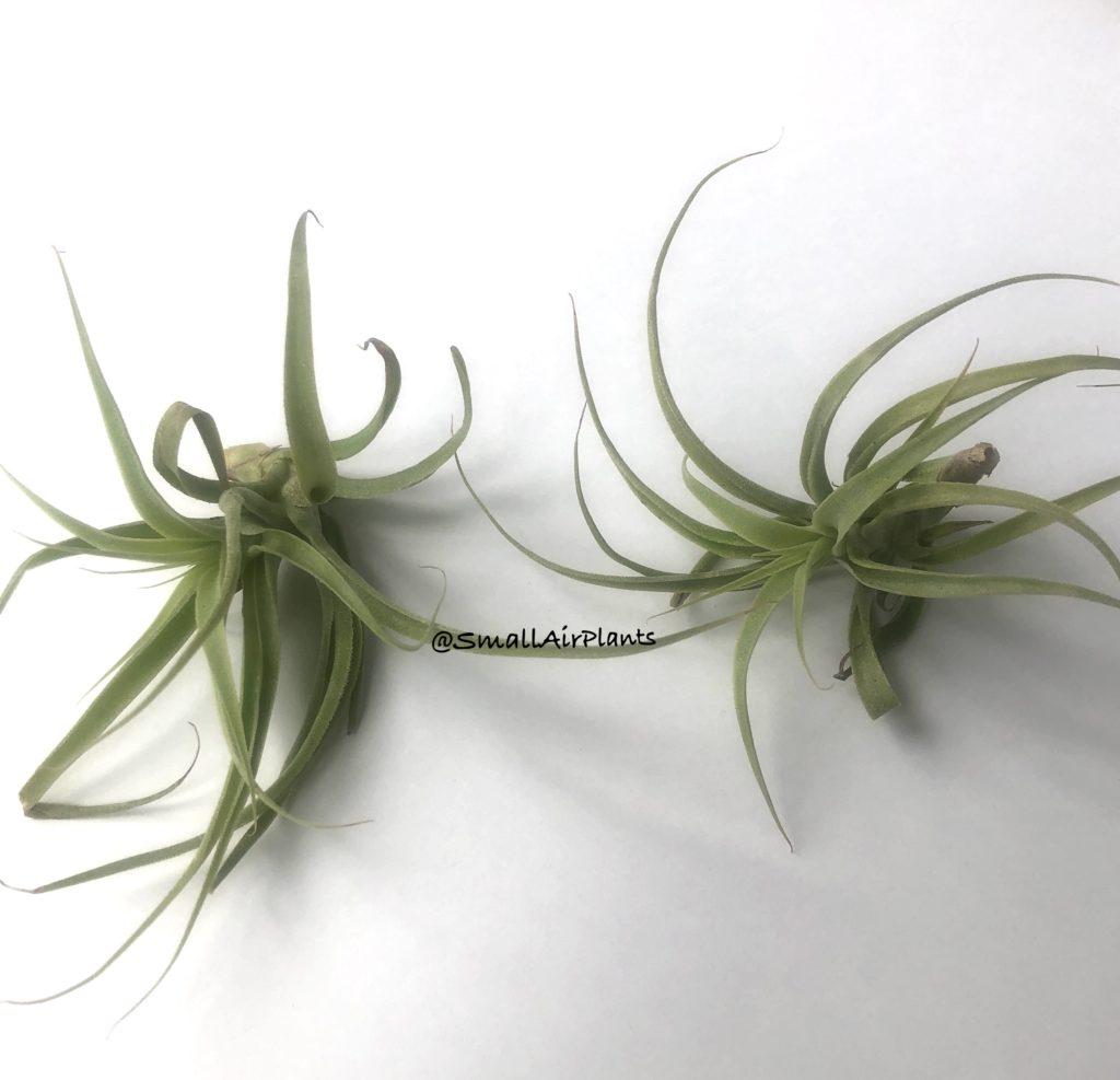 Купить «Cacticola & Purpurea S» в интернет-магазине Smallairplants