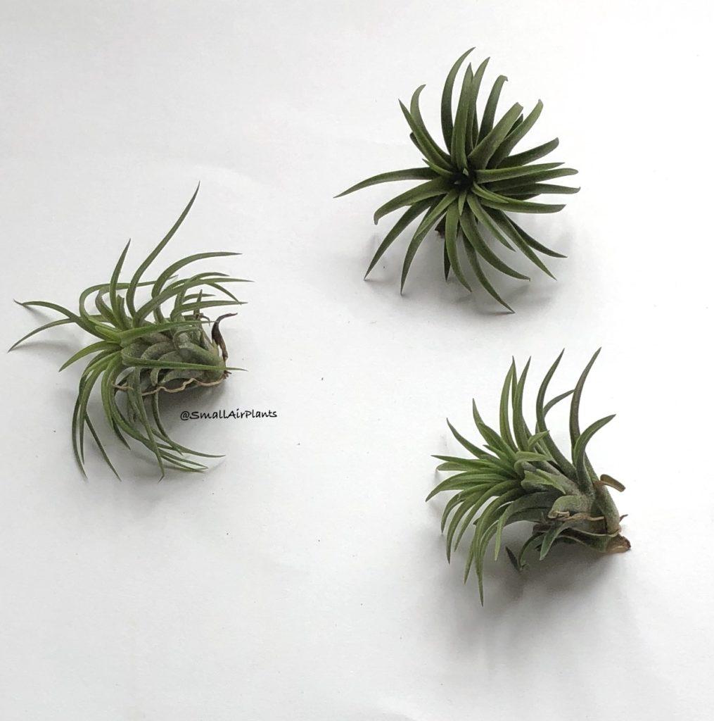 Купить «Ionantha Firecracker» в интернет-магазине Smallairplants