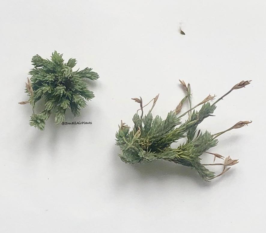 Купить «Pedicellata Pulk» в интернет-магазине Smallairplants
