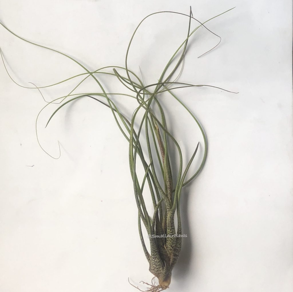 Купить «Butzii L multi» в интернет-магазине Smallairplants